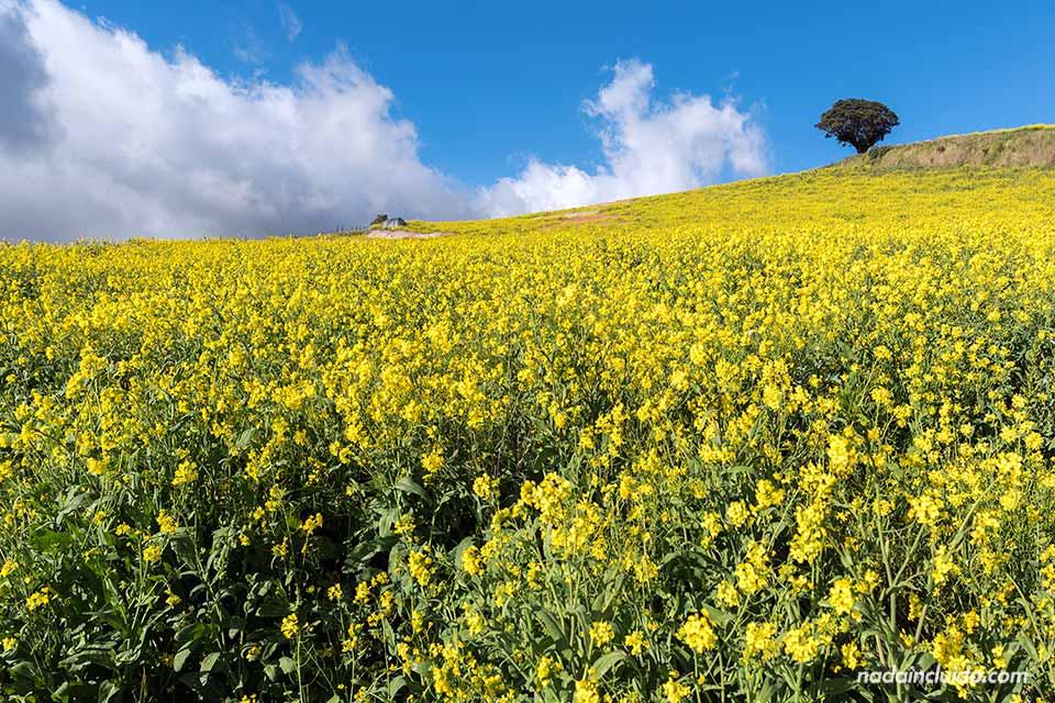 Campo de flores amarillas en el camino al Volcán Irazú (Costa Rica)
