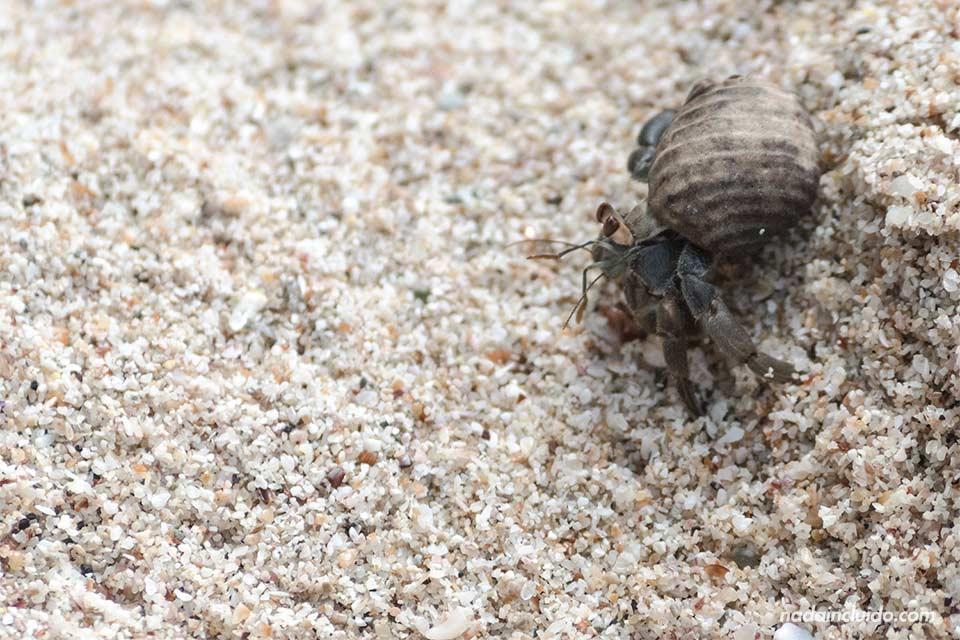 Cangrejo en la playa de los Suecos (Costa Rica)