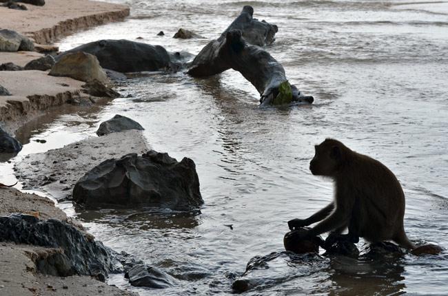 Mono tratando de abrir un coco en la playa de Ao Nang (Tailandia)
