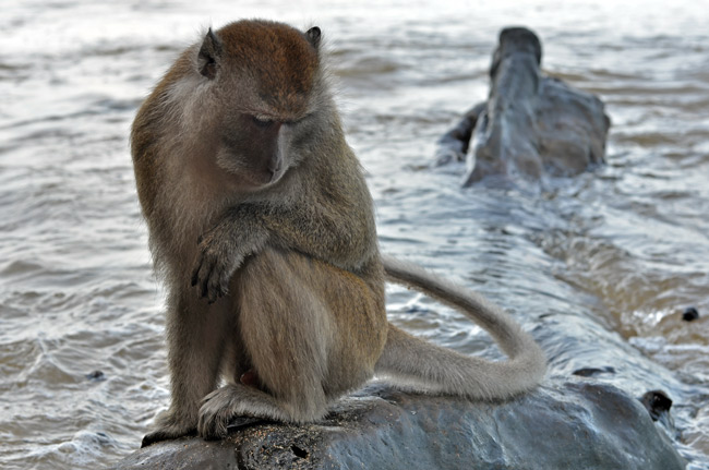 Mono pensativo en la playa de Ao Nang (Tailandia)