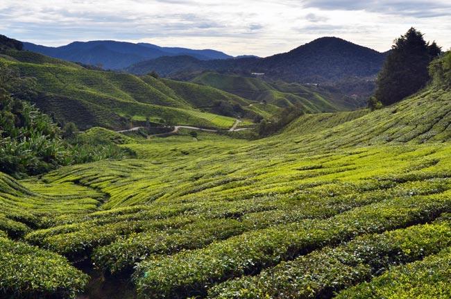 Plantación de té en Cameron Highlands, cerca de la ciudad de Tanah Rata (Malasia)