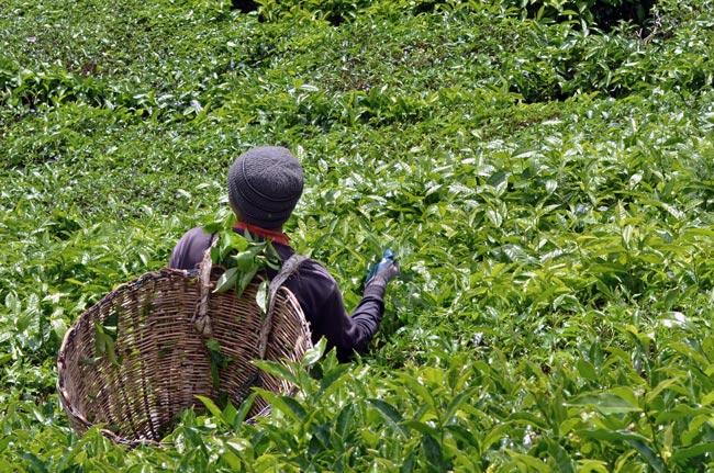 Un recolector de té en las plantaciones de Cameron Highlands (Malasia)