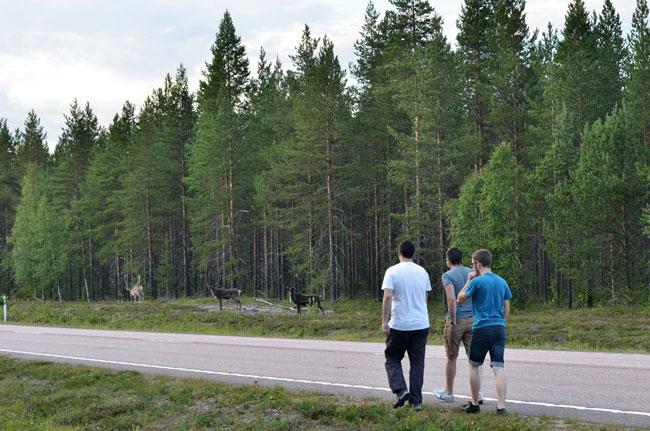 Renos junto a una carreta del norte de Finlandia