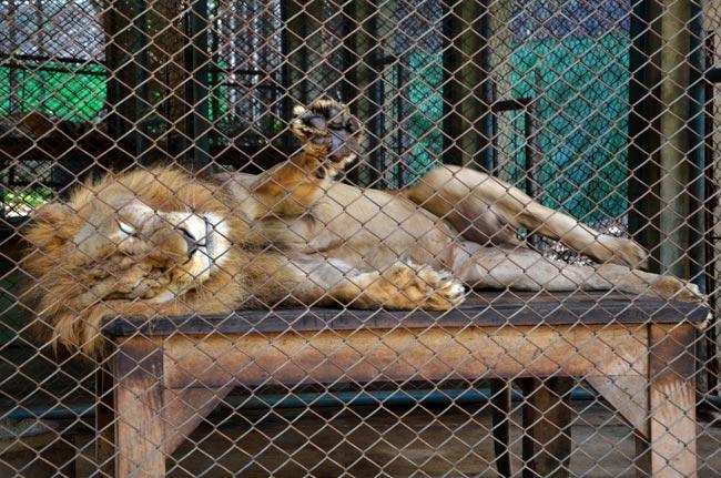 León en el Tiger Kingdom de Chiang Mai (Tailandia)