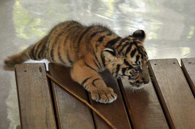 Tigre pequeño en el Tiger Kingdom de Chiang Mai (Tailandia)