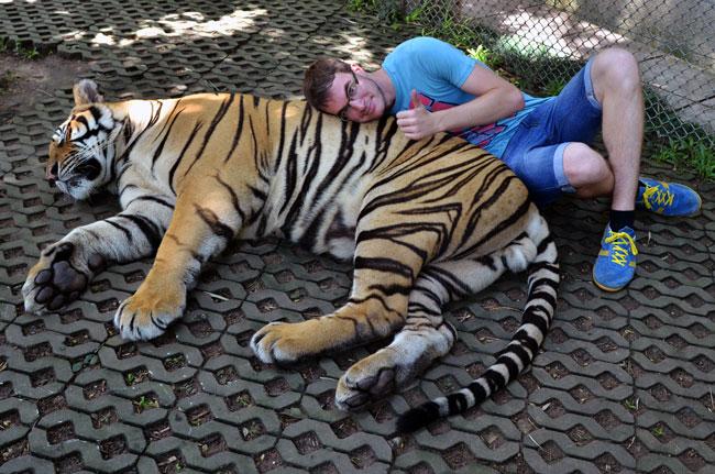 Con un tigre grande en el Tiger Kingdom de Chiang Mai (Tailandia)