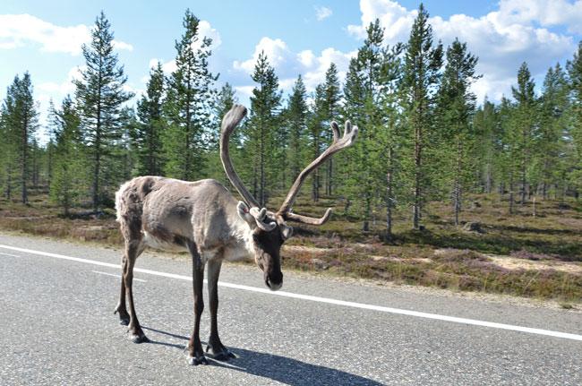 Reno en mitad de una carretera finlandesa