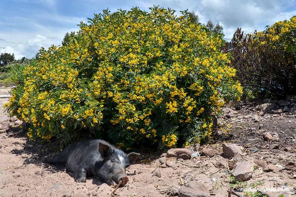 Llachón,-playa,-lago-Titicaca,-cerdos(I)
