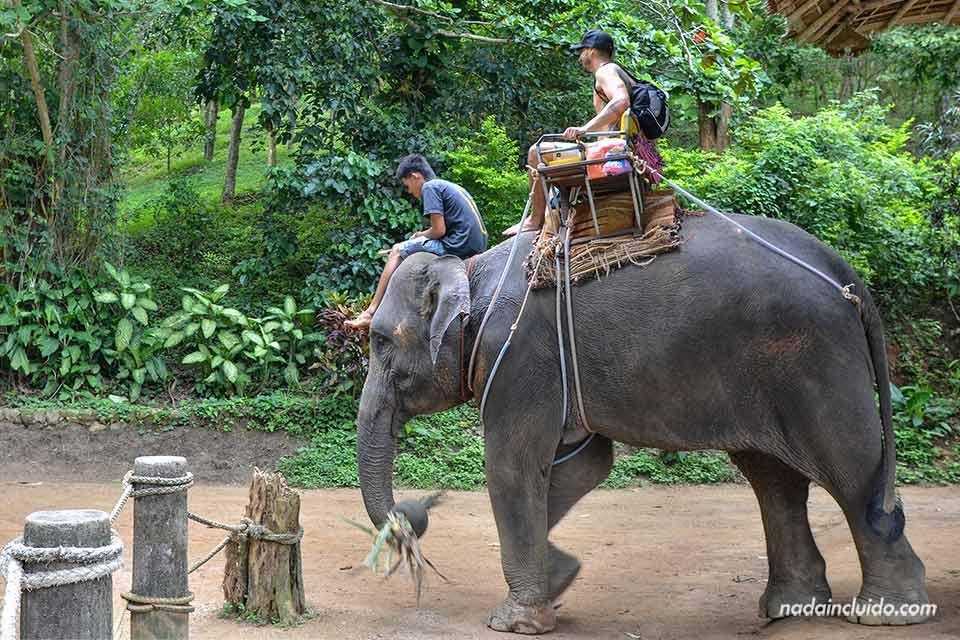 Turista pasea en un elefante en Phuket (Tailandia)